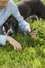 Harvest of oregano in a kitchen garden with a dog
