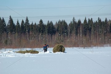 Collecting of the hay in winter Russia