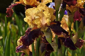 German iris 'Marie-José Nat' in bloom in a garden