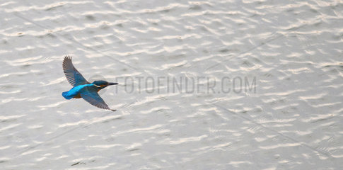 Common Kingfisher (Alcedo atthis) in flight above the water  Regional Natural Park of the Vosges du Nord  France