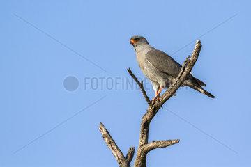Dark Chanting-Goshawk (Melierax metabates) on a branch  Kruger National park  South Africa
