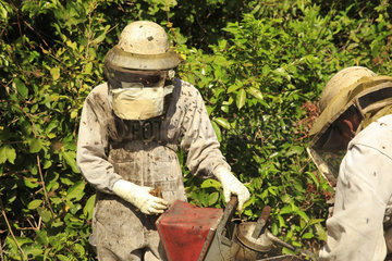 Killers Africanized Honeybees. A young intern handles the smoker. After two hours of harvesting and despite his protection  his nerves are getting frayed. The venom stings the eyes and the nose and an acidic taste fills the mouth. Don't panic  don'y panic.... Panama