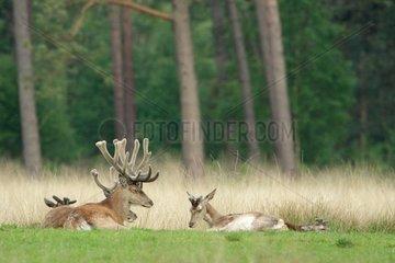 Red deers (Cervus elaphus ) male velvet and hind  Hige Veluwe   Netherlands