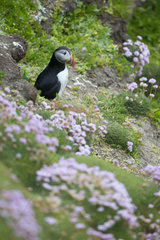 Puffin (Fratercula arctica) amongst flowers in spring  Shetland