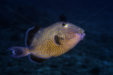 Yellow-spotted triggerfish (Pseudobalistes fuscus) on the outer slope of the barrier  La Réunion  Indian Ocean