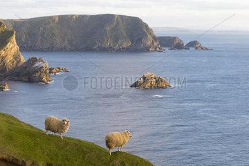 Sheep  Hermaness  Shetland  spring