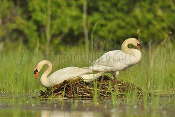 Mute swans (Cygnus olor) on their nest  Dombes  France