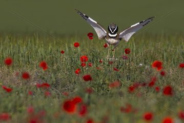 Little bustard (Teyrax tetrax) Bustard Displaying in a meadow covered with poppies at sunrise  Spain  Spring