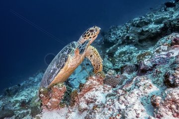 Hawksbill turtle (Eretmochelys imbricata) on the reef  Maldives   Indian Ocean