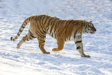 Siberian Tiger (Panthera tgris altaica) walking in snow  Siberian Tiger Park  Harbin  China