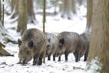 Herd of Eurasian wild boars (Sus scrofa) walking through the woods  Bayerisher Wald  Germany