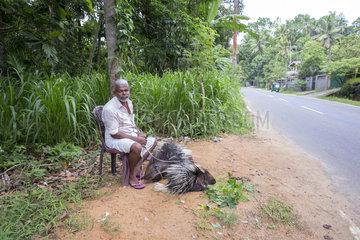 Captive Indian crested porcupine or Indian porcupine (Hystrix indica) roadside show for passing tourists  near Sigiriya  Sri Lanka