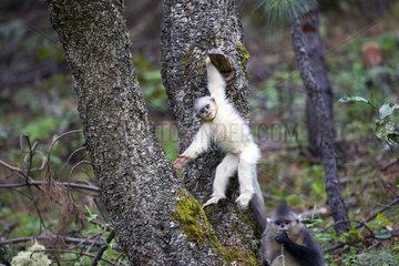 Yunnan Snub-nosed Monkey (Rhinopithecus bieti) young in a tree  Yunnan  China