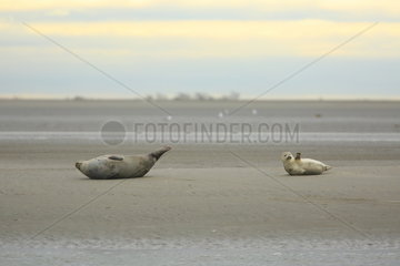Harbor seals (Phoca vitulina) resting on the beach  Authie Bay  Picardy  France