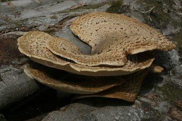 Mushroom on a tree trunk France