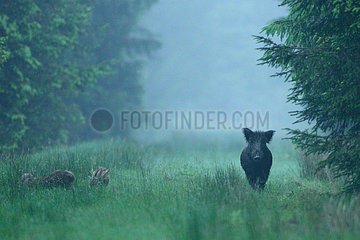 Wild boar (Sus scrofa) and young at dawn  Ardenne  belgium