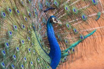 Indian Peafowl or Blue Peafowl (Pavo cristatus)  male displaying  Wilpattu national patk  Northwest Coast of Sri Lanka