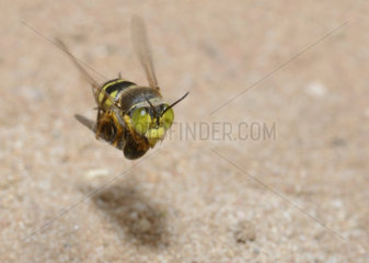 Sand wasp (Bembix rostrata) female in flight entering its gallery with its prey: a syrphe  Regional Natural Park of the Vosges du Nord  France