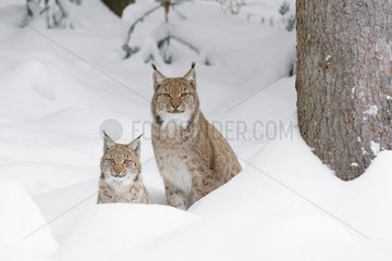 European Lynx in Winter  Lynx lynx  Bavarian Forest National Park  Germany  Europe