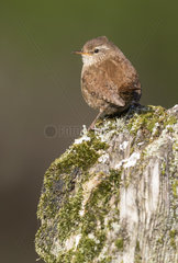 Wren (Troglodytes troglodytes) Wren perched on a post  England Spring
