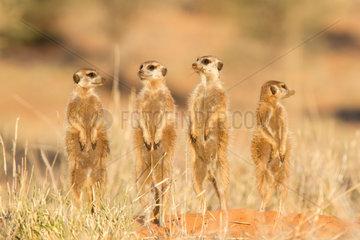 Meerkat group alert for predators in evening light.