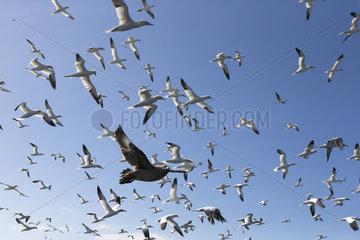 Gannet (Morus basanus) Gannet in flight  Shetland  Spring