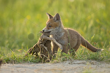 Red fox (Vulpes vulpes ) young eating   Country Fribourg   Switzerland