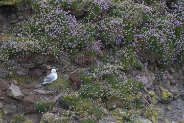 Fulmar (Fulmarus glacialis) amongst flowers  Shetland