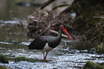 Black Stork (Ciconia nigra) migration  driving into the creek La Creuse in Blamont  Franche-Comté  France