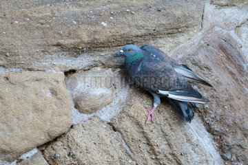 Pigeon feeding on minerals from stones of the old bridge of Albi above the Tarn. Occitania  France
