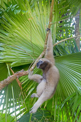 Western hoolock gibbon (Hoolock hoolock)  female screaming under palm  Gumti wildlife sanctuary  Tripura state  India