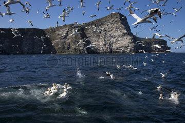 Gannet (Morus bassanus) Bird feeding  Shetland  Spring