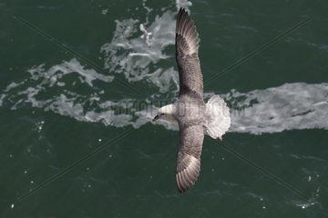 Fulmar (Fulmarus glacialis) Fulmar in flight  Shetland  Spring
