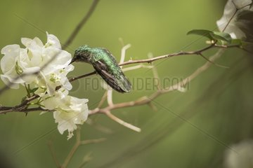Antillean Crested Hummingbird (Orthorhyncus cristatus) feeding on a branch  Montserrat Island