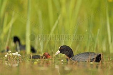 Coot (Fulica atra) feeding its young - Dombes  France