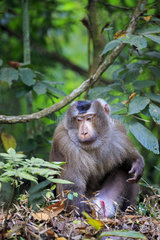 Northern pig-tailed macaque (Macaca leonina) on ground  Trishna wildlife sanctuary  Tripura state  India