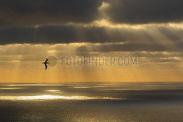 Gannet (Morus basanus) Gannet in flight at sunset  Shetland  Spring