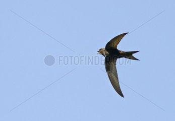 Common Swift (Apus apus) capturing a mosquito in flight  nature reserve Wagbachniederung  Germany