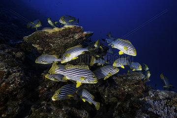 Indian ocean oriental sweetlips (Plectorhinchus vittatus) on reef  Mayotte  Indian Ocean