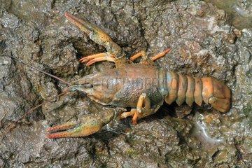 Narrow-clawed Turkish crayfish (Astacus leptodactylus)  Armenia
