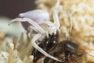 Crab spider ( Thomisus onustus ) capturing a Bee  France