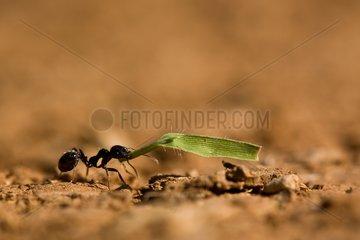 Harvester ant workers media with leaf - France