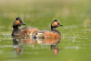 Couple of Black-necked Grebe (Podiceps nigricollis) on water  Dombes  France