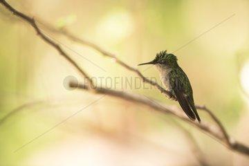 Antillean Crested Hummingbird (Orthorhyncus cristatus) on a branch  Montserrat Island