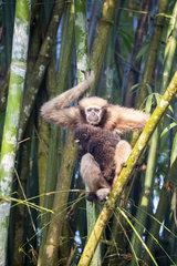Western hoolock gibbon (Hoolock hoolock)  female with young in bamboos  Gumti wildlife sanctuary  Tripura state  India