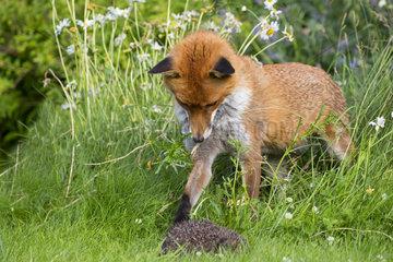 Red fox (Vulpes vulpes) Red fox looking at a hedgehog England  Summer