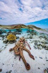Octopus (Octopus sp) in the lagoon  Mayotte  Indian Ocean.