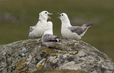 Fulmar (Fulmarus glacialis) Fulmar displaying to each other  Shetland  Spring