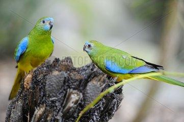 Turquoise Parrots (Neophema pulchella)  Australia