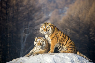 Siberian Tigers (Panthera tgris altaica) at rest on mound in winter  Siberian Tiger Park  Harbin  China